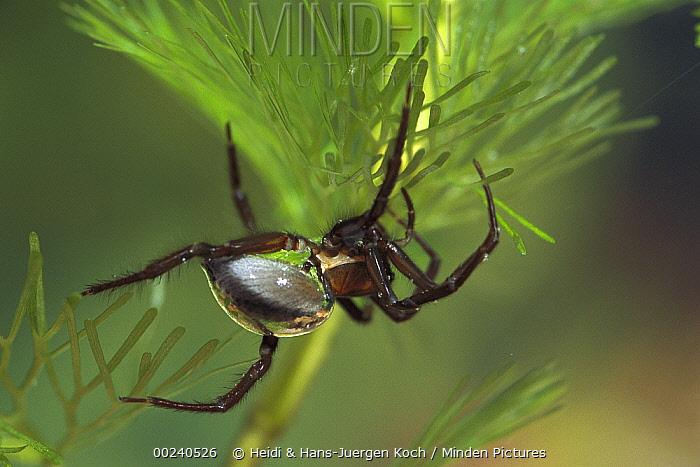 Water Spider (Argyroneta aquatica) clinging to plant showing collected air on abdomen, the only spider capable of living underwater, native to Europe  -  Heidi & Hans-Juergen Koch
