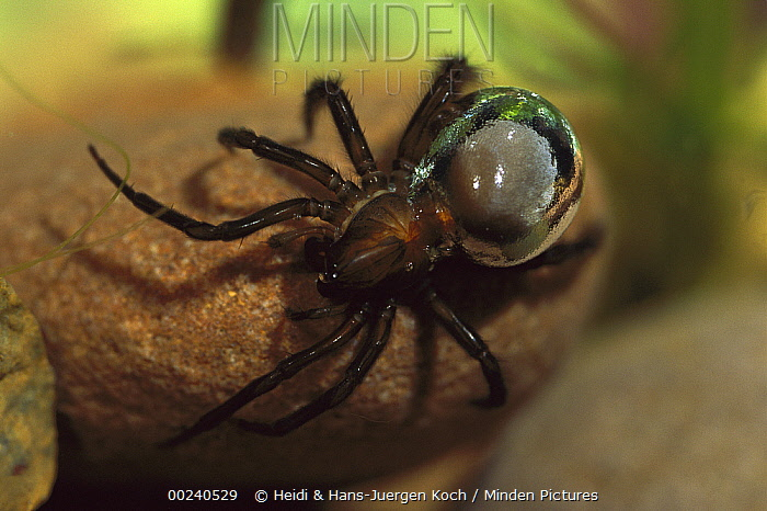 Water Spider (Argyroneta aquatica) walking over stones in the water, hairs on abdomen have trapped air which gives the animal a silvery appearance, native to Europe  -  Heidi & Hans-Juergen Koch
