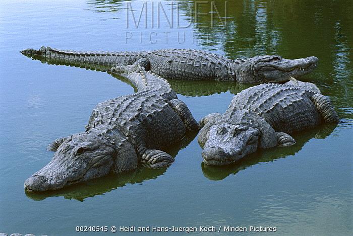 American Alligator (Alligator mississippiensis) three large adults laying in shallow water, Florida  -  Heidi & Hans-Juergen Koch
