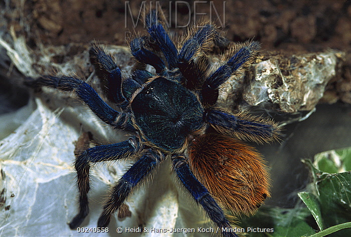Greenbottle Blue Tarantula (Chromatopelma cyaneopubescens) portrait, native to Venezuela  -  Heidi & Hans-Juergen Koch