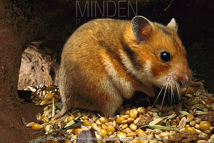 Golden Hamster (Mesocricetus auratus) sitting in its subterranean food store of grains and corn  -  Heidi & Hans-Juergen Koch