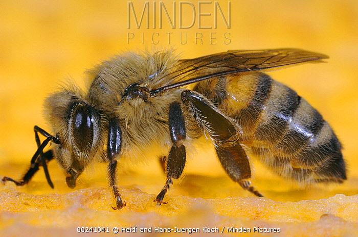Honey Bee (Apis mellifera) worker sitting on honeycomb, Bee Station at the Bavarian Julius-Maximilians-University of Wurzburg, Germany  -  Heidi & Hans-Juergen Koch