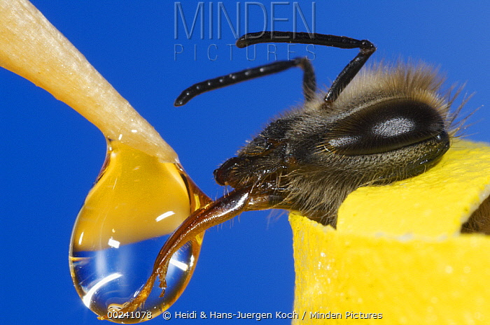 Honey Bee (Apis mellifera) with out-stretched tongue licking drop of sugar liquid, Bee Station at the Bavarian Julius-Maximilians-University of Wurzburg, Germany  -  Heidi & Hans-Juergen Koch