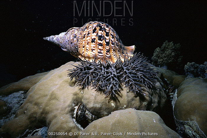 Atlantic Trumpet Triton (Charonia tritonis) feeding on Crown-of-thorns Starfish (Acanthaster planci), Great Barrier Reef, Queensland, Australia  -  D. Parer & E. Parer-Cook