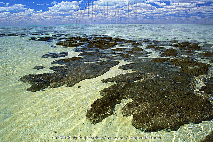 Stromatolites, colonies of blue-green algae, the oldest life form that still exists today fossils dated to over three billion years ago, Hamelin Pool, Shark Bay, Western Australia  -  Reg Morrison/ Auscape