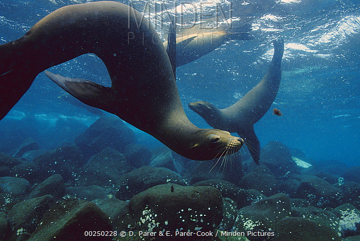 Galapagos Sea Lion (Zalophus wollebaeki) group swimming underwater, Galapagos Islands, Ecuador  -  D. Parer & E. Parer-Cook