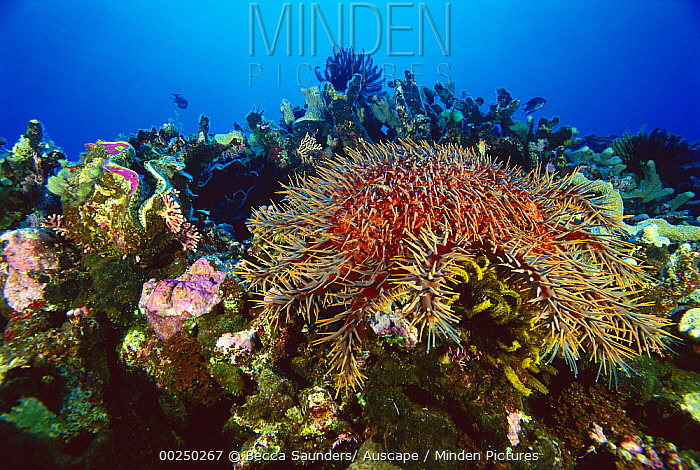 Crown-of-thorns Starfish (Acanthaster planci) on coral reef, Coral Sea, Australia  -  Becca Saunders/ Auscape