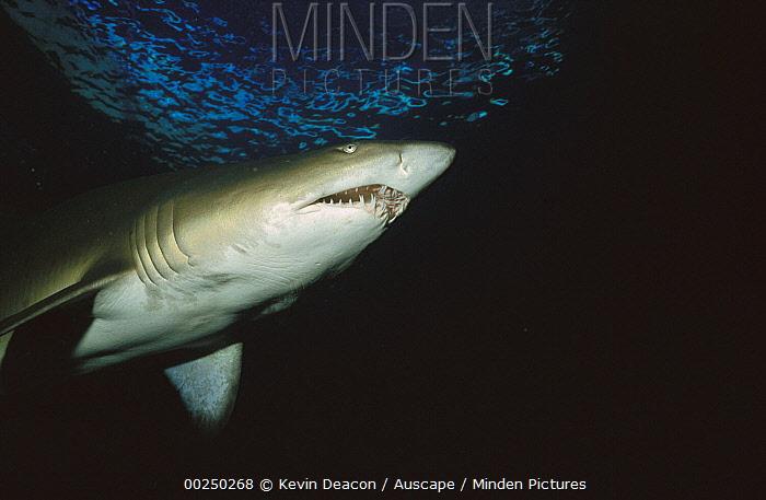 Grey Nurse Shark (Carcharias taurus) swimming overhead, Australia  -  Kevin Deacon/ Auscape
