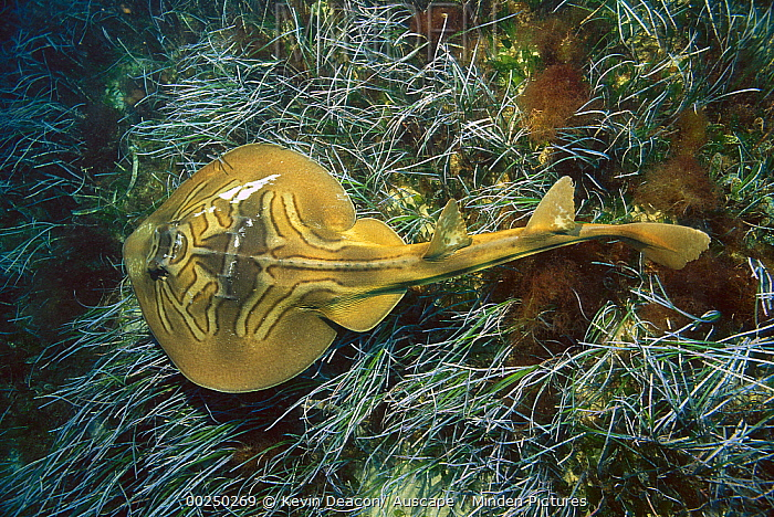 Southern Fiddler Ray (Trygonorrhina fasciata) resting on ocean floor, Australia  -  Kevin Deacon/ Auscape