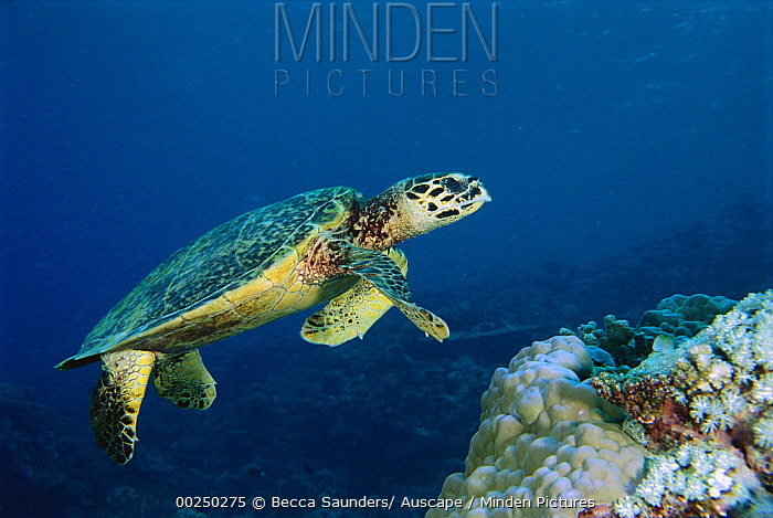 Hawksbill Sea Turtle (Eretmochelys imbricata) swimming over coral reef, Malaysia  -  Becca Saunders/ Auscape