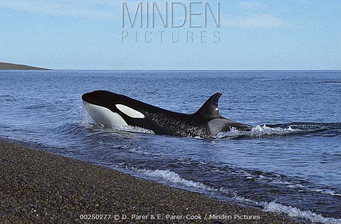 Orca (Orcinus orca) hunting for sea lions, will lunge up onto the sandy beach to grab their prey, Patagonia, Argentina  -  D. Parer & E. Parer-Cook