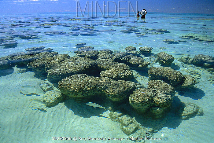 Reef walkers admire stromatolites, colonies of blue-green algae which are the oldest life form that still exists today, fossils dated to over three billion years ago, Hamelin pool, Shark Bay, Western Australia  -  Reg Morrison/ Auscape