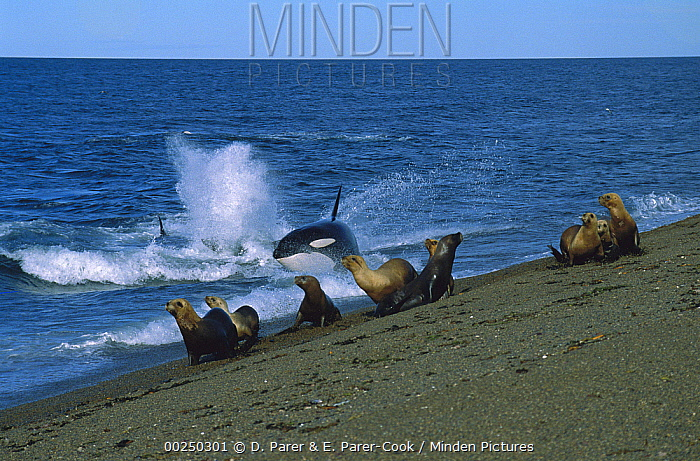 Orca (Orcinus orca) beaching to catch a South American Sea Lion (Otaria flavescens), Punta Norte, Peninsula Valdez, Patagonia, Argentina  -  D. Parer & E. Parer-Cook