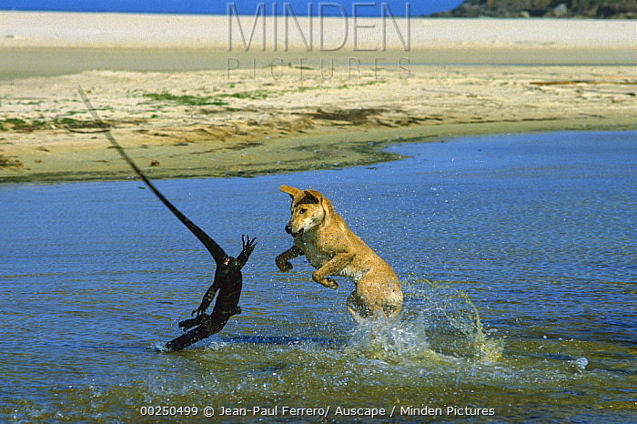 Dingo (Canis lupus dingo) attacking a Lace Monitor Lizard (Varanus varius) in water, Nadgee Nature Reserve, New South Wales, Australia  -  Jean-Paul Ferrero/ Auscape