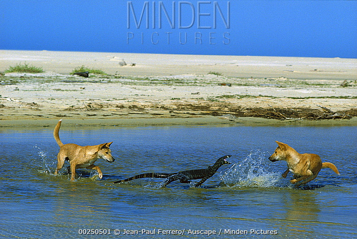 Dingo (Canis lupus dingo) pair attacking a Lace Monitor Lizard (Varanus varius) in water, Nadgee Nature Reserve, New South Wales, Australia  -  Jean-Paul Ferrero/ Auscape