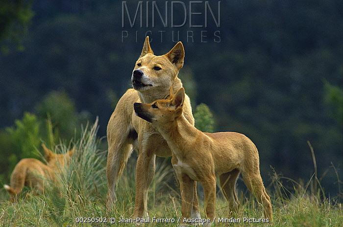 Dingo (Canis lupus dingo) male with pup taking submissive posture, Australia  -  Jean-Paul Ferrero/ Auscape
