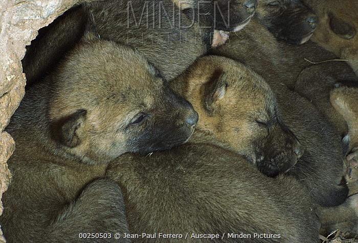 Dingo (Canis lupus dingo) pups resting in den, Australia  -  Jean-Paul Ferrero/ Auscape
