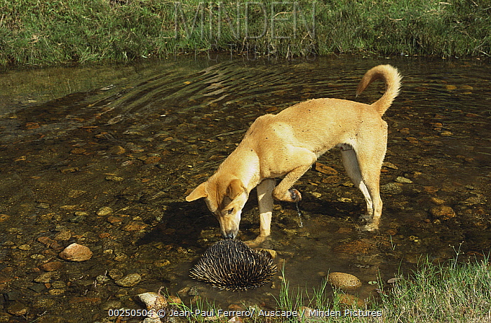 Dingo (Canis lupus dingo) adult inspecting a Short-beaked Echidna (Tachyglossus aculeatus) in water, New South Wales, Australia  -  Jean-Paul Ferrero/ Auscape