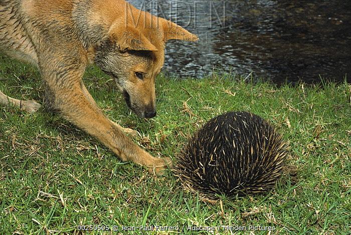 Dingo (Canis lupus dingo) adult attacking a Short-beaked Echidna (Tachyglossus aculeatus), New South Wales, Australia  -  Jean-Paul Ferrero/ Auscape