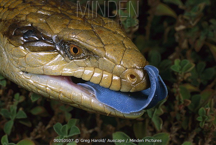Eastern Blue-tongue Skink (Tiliqua scincoides) showing blue tongue in threat display, south of Port Germein, South Australia  -  Greg Harold/ Auscape