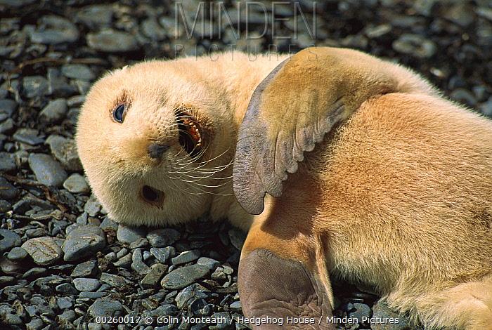 Antarctic Fur Seal (Arctocephalus gazella) blonde morph pup laying on beach on Prion Island, South Georgia Island  -  Colin Monteath/ Hedgehog House