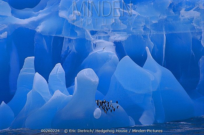 Chinstrap Penguin (Pygoscelis antarctica) group riding iceberg, Weddell Sea, Antarctica  -  Eric Dietrich/ Hedgehog House
