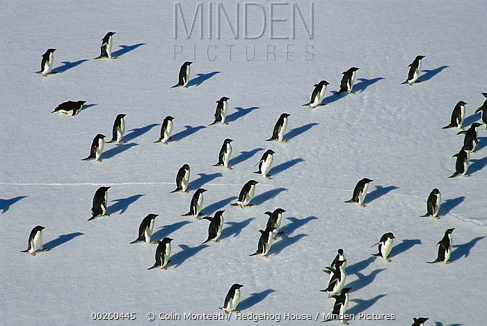 Adelie Penguin (Pygoscelis adeliae) group pack riding ice floes, Dumont d'Urville, Terre Adelie Land, east Antarctica  -  Colin Monteath/ Hedgehog House