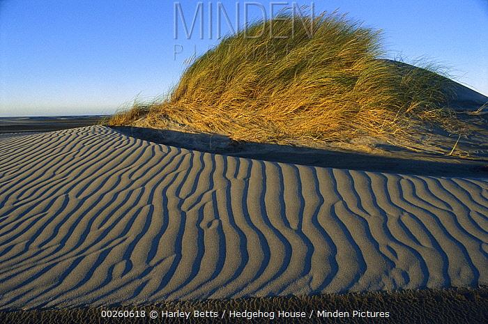 European Beachgrass (Ammophila arenaria) topped dune with rippled sand, Farewell Spit, Golden Bay, New Zealand  -  Harley Betts/ Hedgehog House