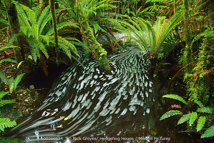 Crown Fern (Blechnum discolor) and stream, Waitutu Forest, South Island, New Zealand  -  Nick Groves/ Hedgehog House