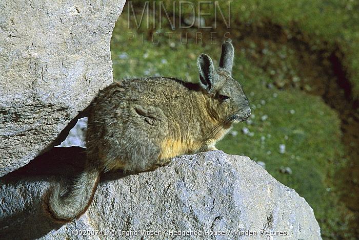 Southern Viscacha (Lagidium viscacia) on rocks, Chile  -  Ingrid Visser/ Hedgehog House