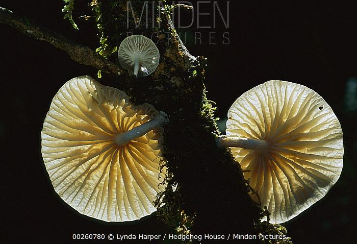 Gill Mushroom (Oudemansiella sp) growing from branch, New Zealand  -  Lynda Harper/ Hedgehog House