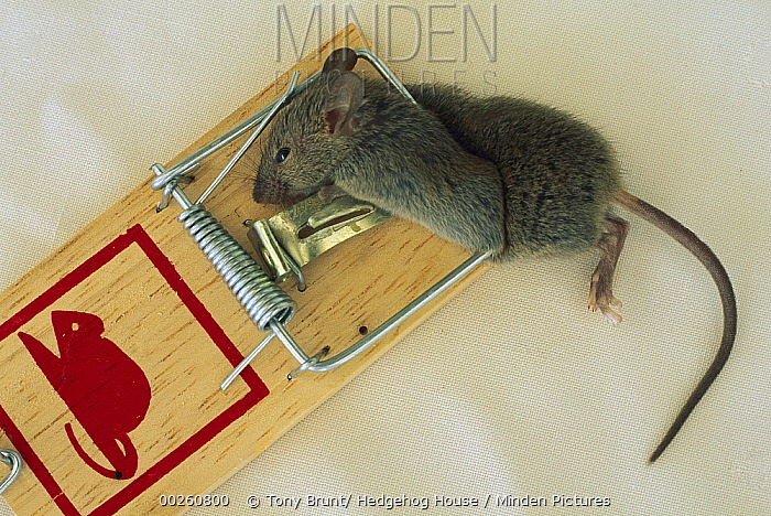 Mouse (Mus sp) caught in trap, New Zealand  -  Tony Brunt/ Hedgehog House