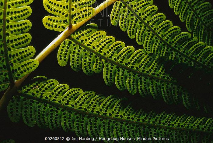 Fern frond showing spores, Karamea, South Island, New Zealand  -  Jim Harding/ Hedgehog House