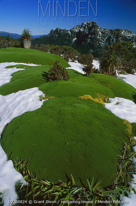 Cushion plant, Mount Anne, Southwest National Park, Tasmania, Australia  -  Grant Dixon/ Hedgehog House