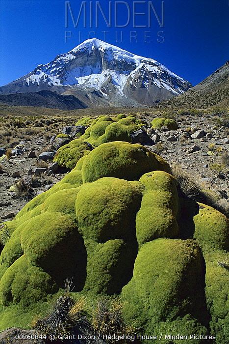 Cushion plant and Nevado Sajama, Bolivia's highest peak, Sajama National Park, Bolivia  -  Grant Dixon/ Hedgehog House