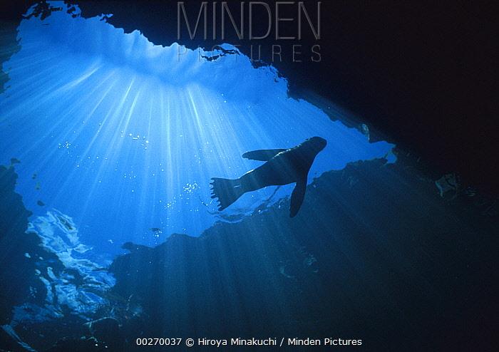 Galapagos Sea Lion (Zalophus wollebaeki) silhouetted by surface sunlight, Galapagos Islands, Ecuador  -  Hiroya Minakuchi