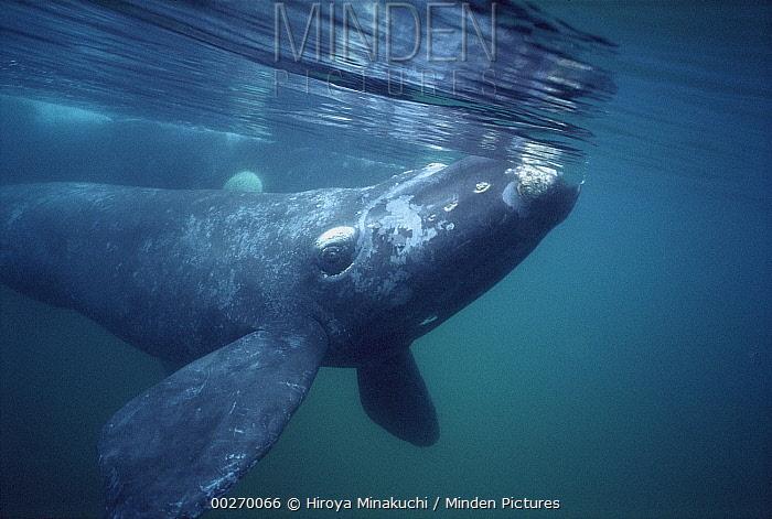 Southern Right Whale (Eubalaena australis) underwater portrait, Gulfo Nuevo, Peninsula Valdez, Argentina  -  Hiroya Minakuchi
