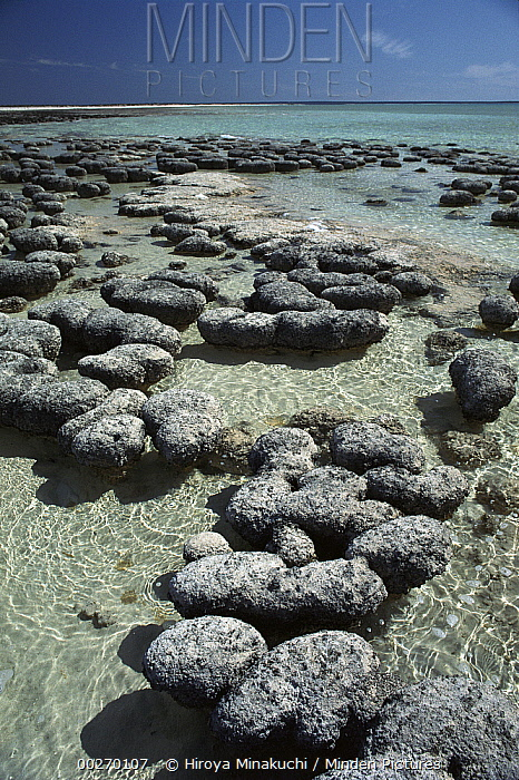 Stromatolites, the oldest life form that still exists today, Hamelin Pool, Shark Bay, Western Australia  -  Hiroya Minakuchi