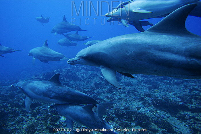 Bottlenose Dolphin (Tursiops truncatus) pod swimming over coral reef, Ogasawara Island, Japan  -  Hiroya Minakuchi