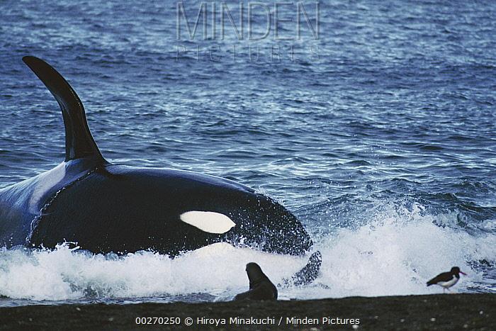 Orca (Orcinus orca) hunting South American Sea Lion (Otaria flavescens) group by beaching itself, Peninsula Valdez, Argentina  -  Hiroya Minakuchi