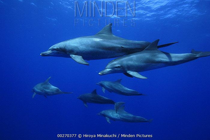 Indo-Pacific Bottlenose Dolphin (Tursipos aduncus) pod, Ogasawara Island, Japan  -  Hiroya Minakuchi