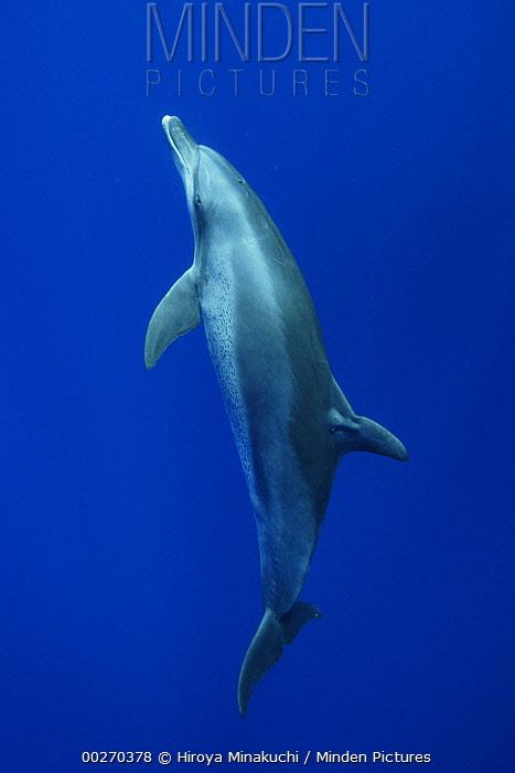 Indo-Pacific Bottlenose Dolphin (Tursipos aduncus) swimming towards surface, Ogasawara Island, Japan  -  Hiroya Minakuchi