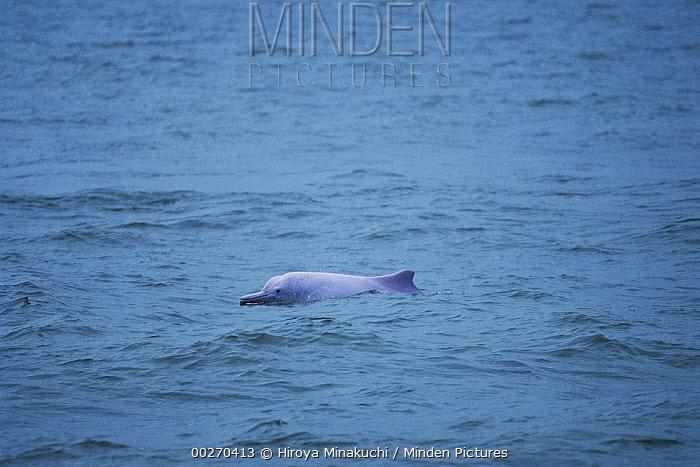 Indo-Pacific Bottlenose Dolphin (Tursiops aduncus) surfacing, Hong Kong, China  -  Hiroya Minakuchi