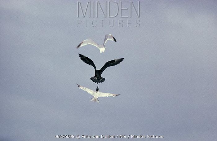 Sandwich Tern (Thalasseus sandvicensis) pair chasing away Arctic Skua (Stercorarius parasiticus)  -  Frits van Daalen/ NiS