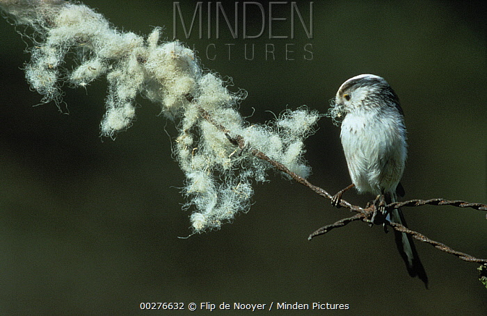 Long-tailed Tit (Aegithalos caudatus) adult perched on barbed wire collecting nest material, Europe  -  Flip de Nooyer