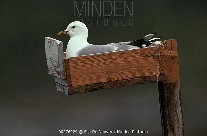 Mew Gull (Larus canus) adult nesting in man-made structure, Europe  -  Flip de Nooyer
