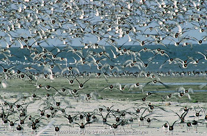 Eurasian Oystercatcher (Haematopus ostralegus) large flock taking flight, Europe  -  Flip de Nooyer