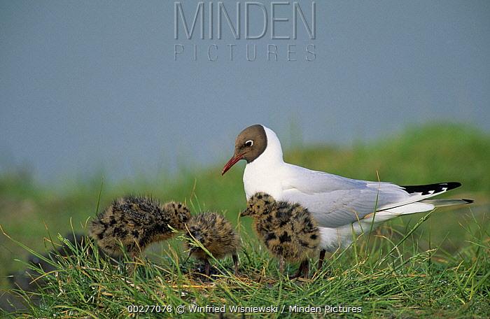 Black-headed Gull (Chroicocephalus ridibundus) parent with chicks in the grass, Europe  -  Winfried Wisniewski