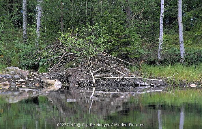 European Beaver (Castor fiber) lodge, Europe  -  Flip de Nooyer