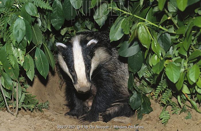 Eurasian Badger (Meles meles) at burrow entrance, western Europe  -  Flip de Nooyer